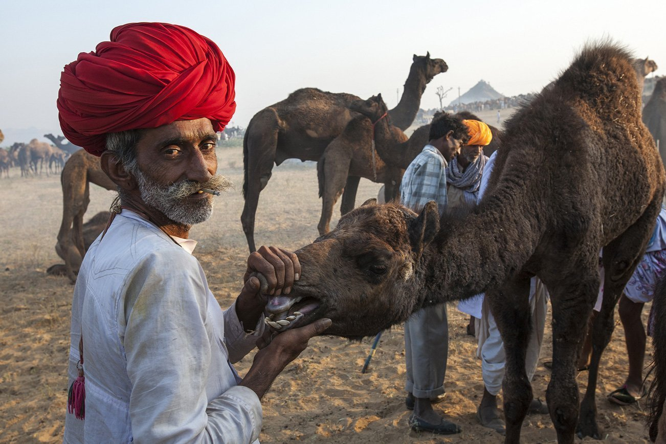 A camel trader inspects the teeth of a camel before making an offer.