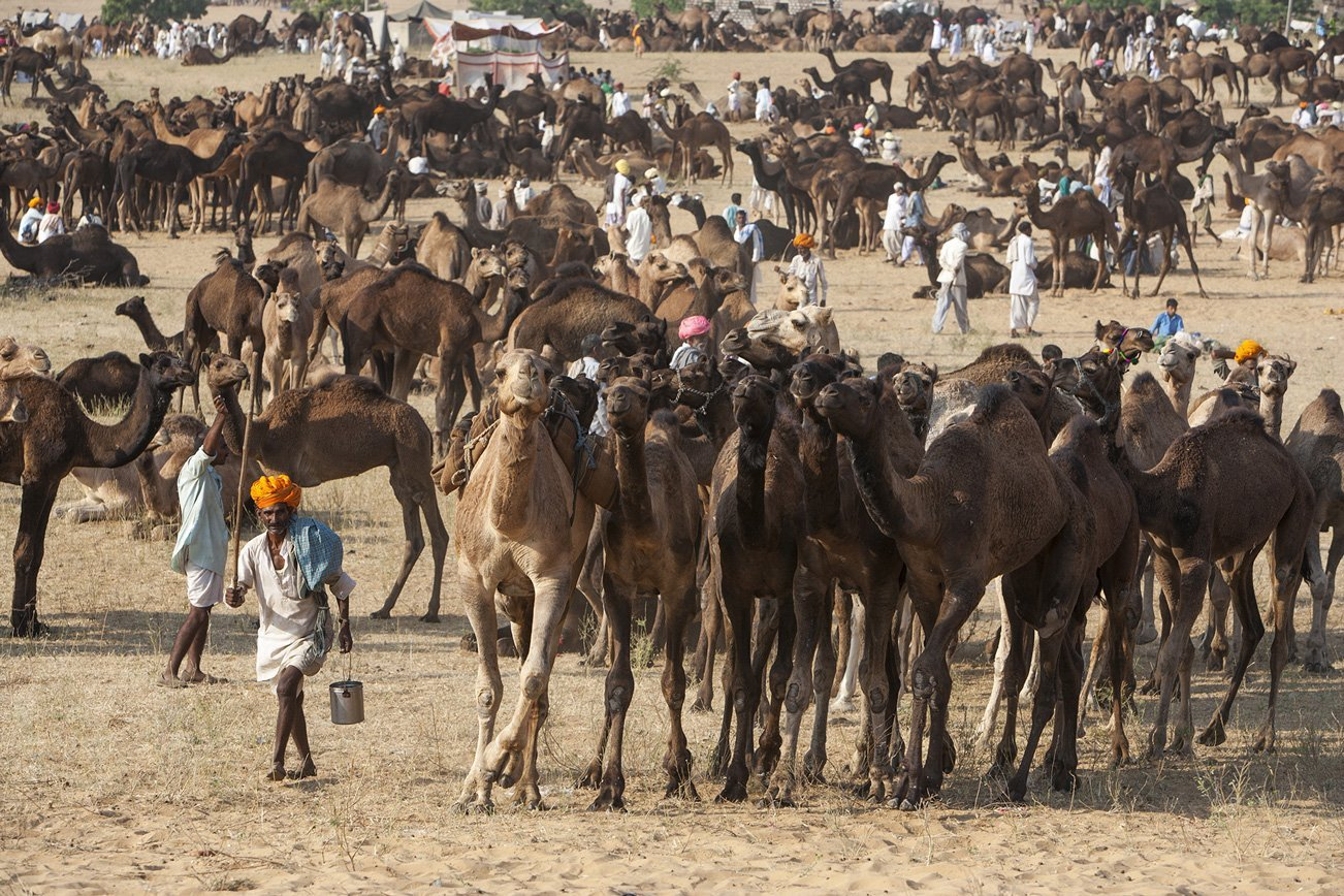 A camel herder guides a group of camels to their destination.